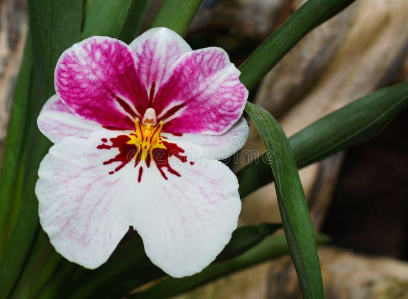 Miltonia cor-de-rosa bonito da variedade do ramo da orquídea imagem de stock