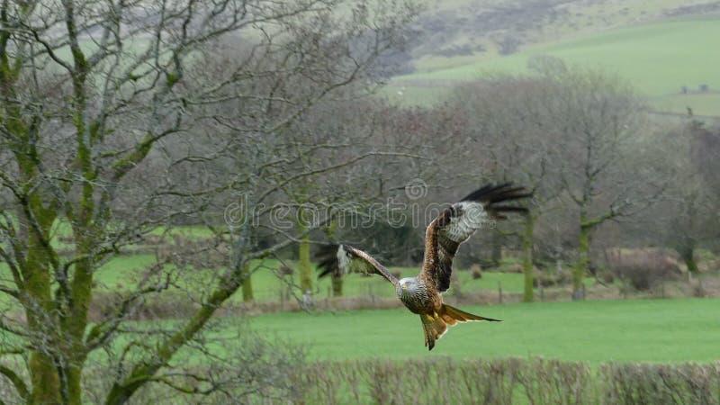 Milvus Milvus - красный змей в полете, swooping для того чтобы смолоть, фото принятое в Уэльс, Великобританию стоковое изображение rf