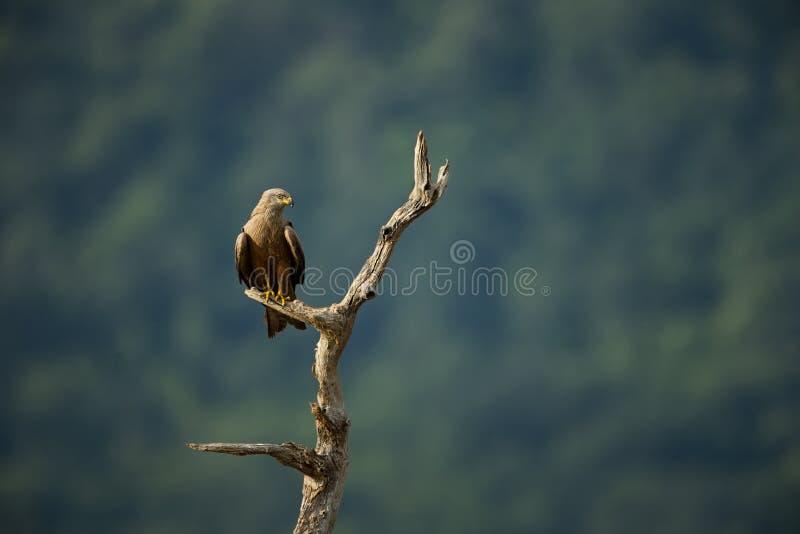 Milvus migrans De wilde aard van Bulgarije Vrije Aard r Rhodopes Grote Vogel Bergen in Bulgarije royalty-vrije stock foto's