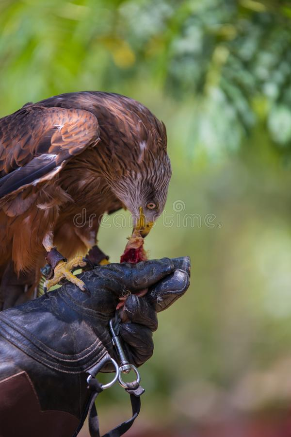 Milvus milvus - Real kite. While eating a chick laid on the falconer`s glove royalty free stock photos