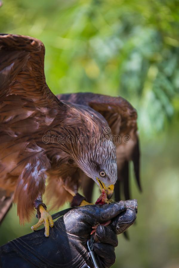Milvus milvus - Real kite. While eating a chick laid on the falconer`s glove royalty free stock photography