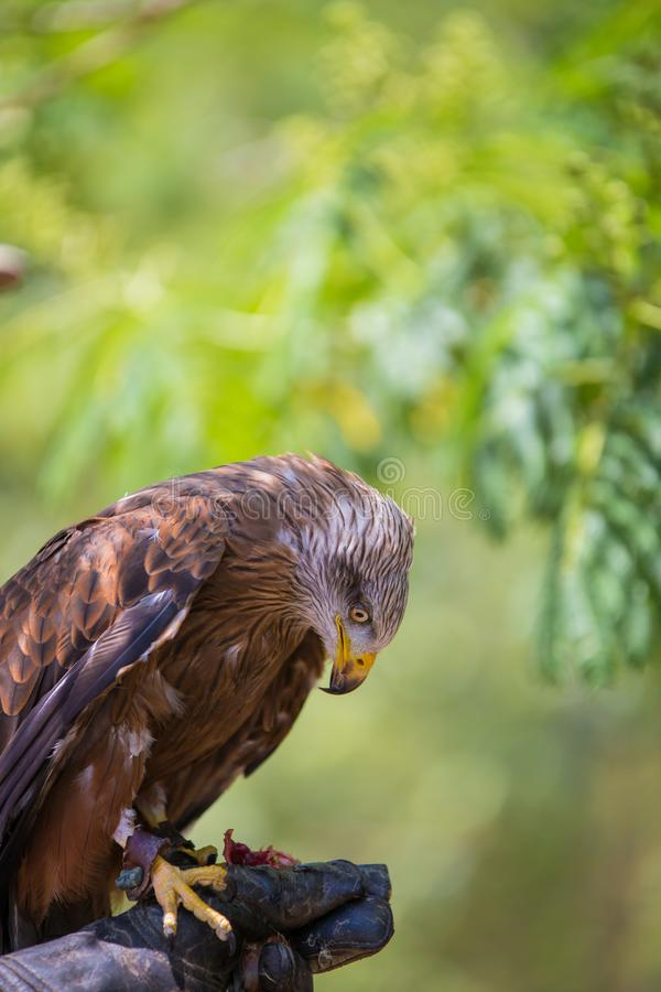 Milvus milvus - Real kite. While eating a chick laid on the falconer`s glove royalty free stock images