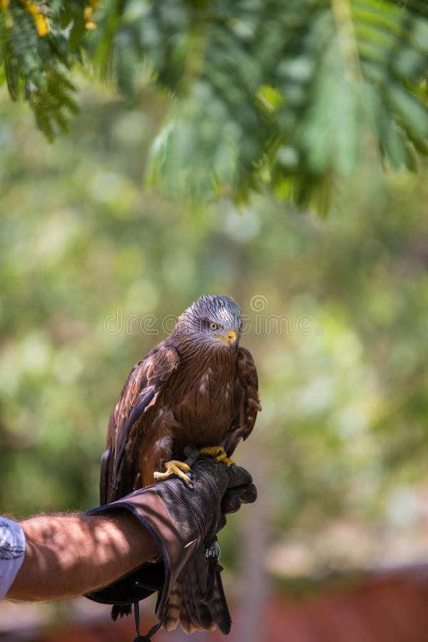 Milvus milvus - Real kite. Laid on the falconer`s glove stock photo