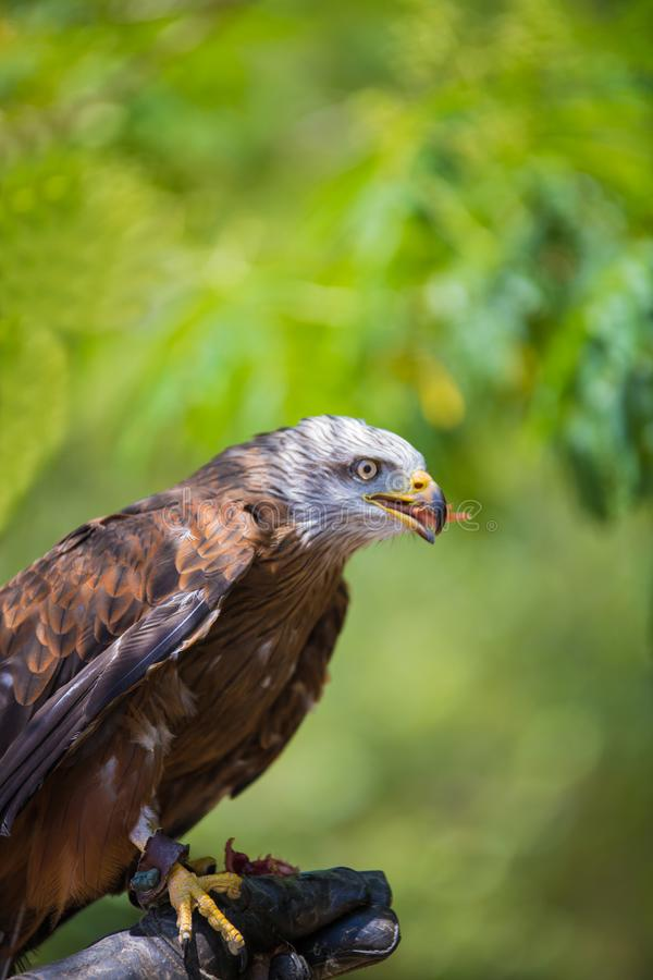 Milvus milvus - Real kite. While eating a chick laid on the falconer`s glove stock image