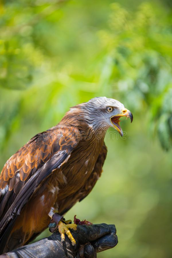 Milvus milvus - Real kite. While eating a chick laid on the falconer`s glove royalty free stock photo