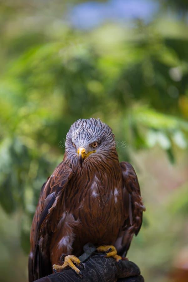 Milvus milvus - Real kite. Laid on the falconer`s glove stock photos