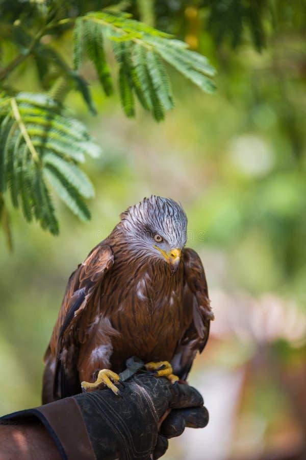 Milvus milvus - Real kite. Laid on the falconer`s glove royalty free stock photos