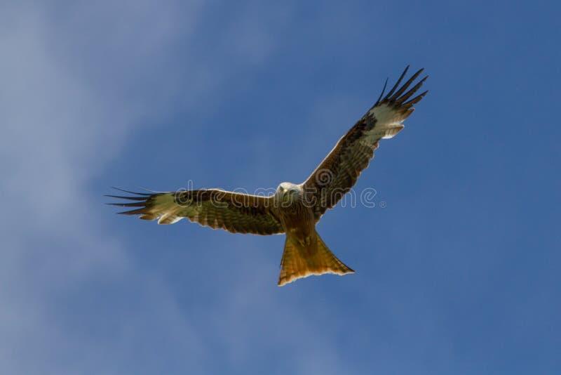 Milvus vermelho de Milvus do papagaio em voo contra céus azuis fotografia de stock royalty free