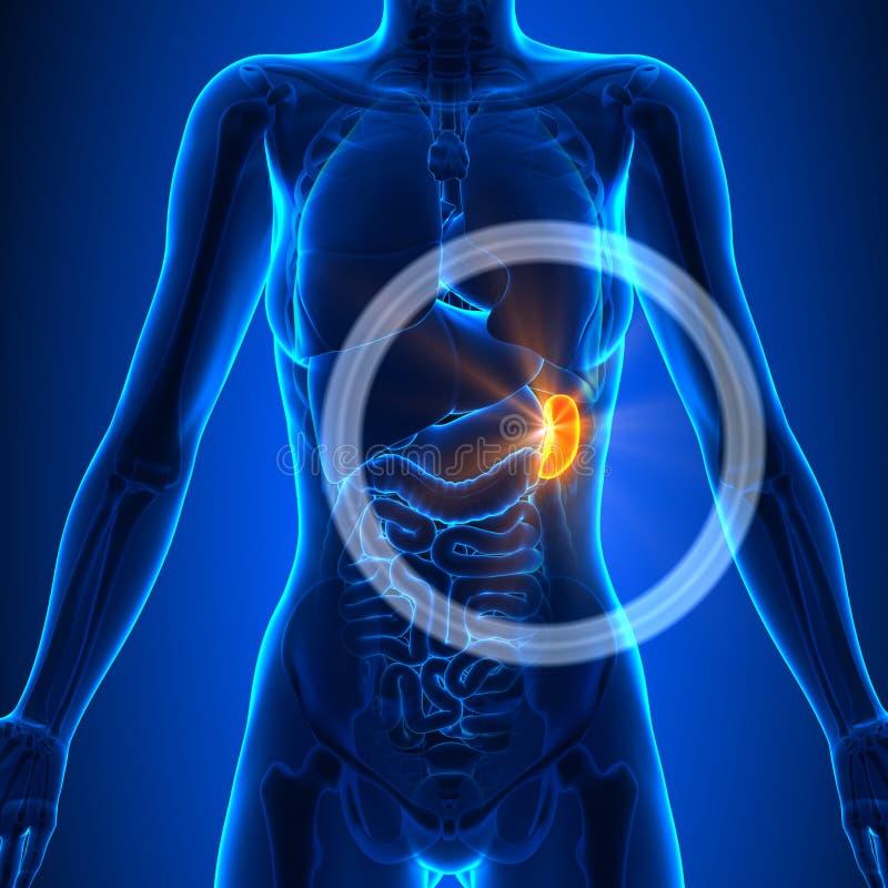 Milz - Weibliche Organe - Menschliche Anatomie Stock Abbildung ...