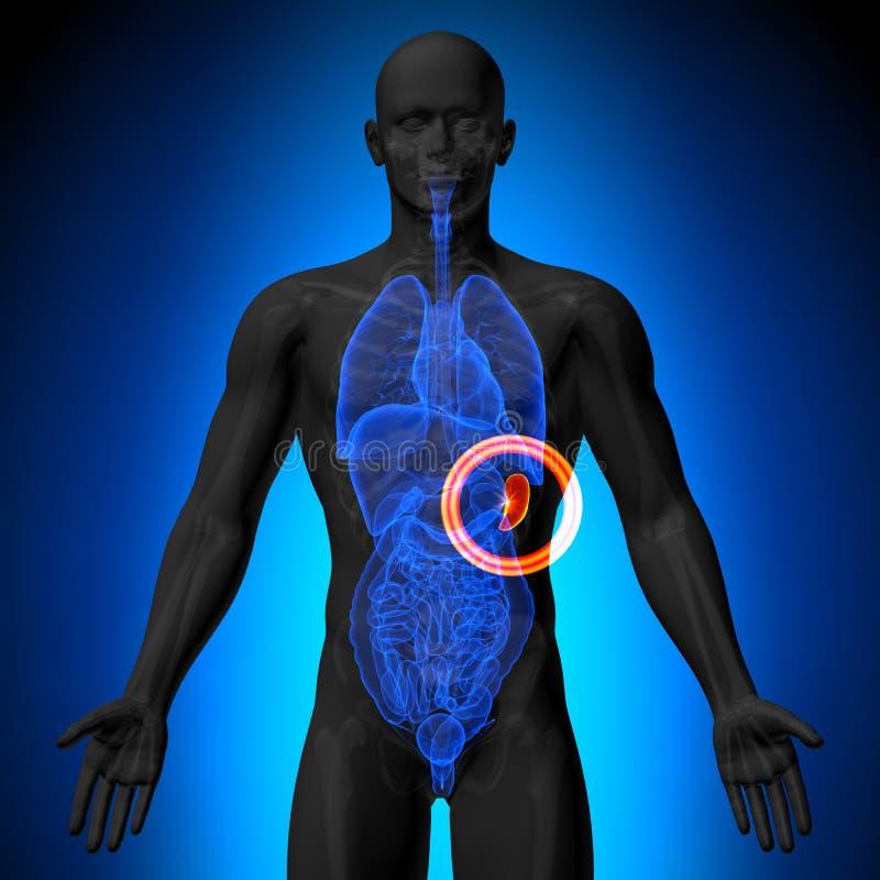 Milza - anatomia maschio degli organi umani - vista dei raggi x illustrazione vettoriale