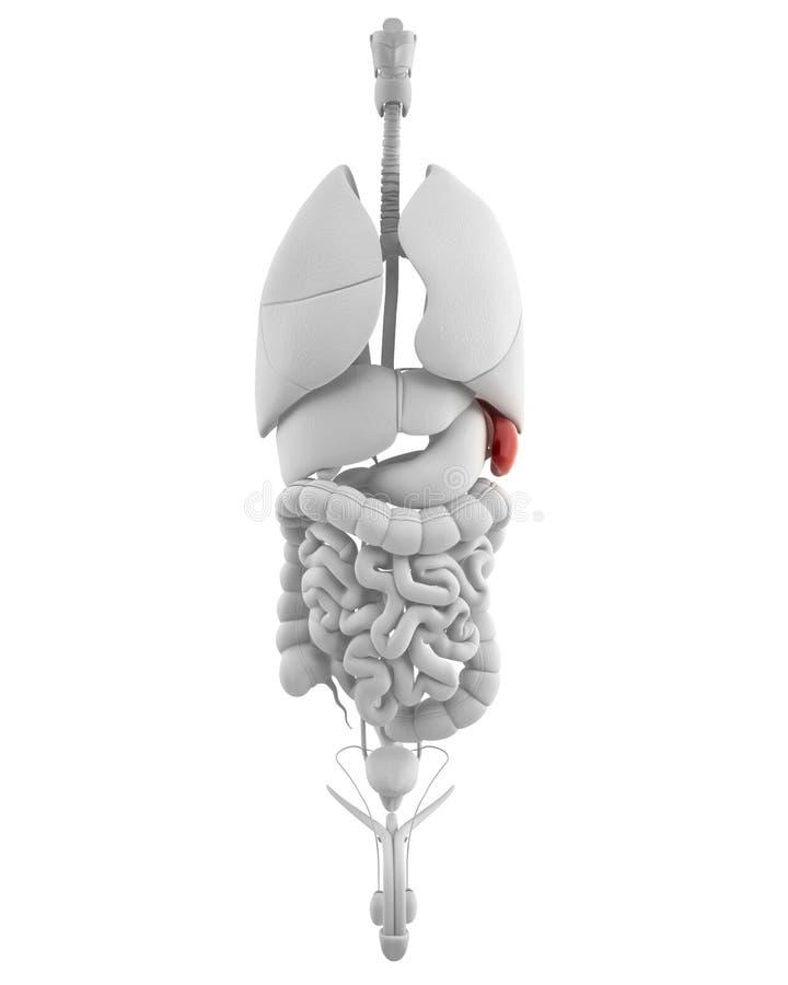 Milza maschio con anatomia dell'addome illustrazione vettoriale