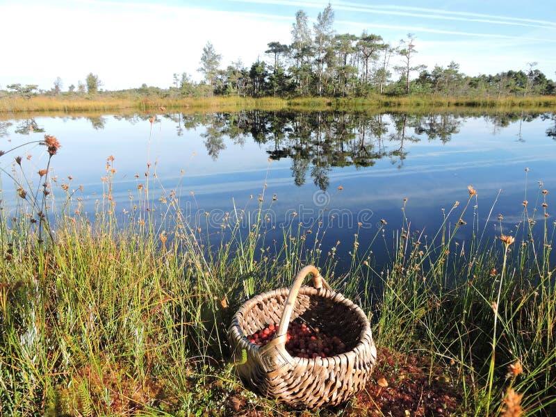 Mimbre con las bayas en el pantano, Lituania fotografía de archivo