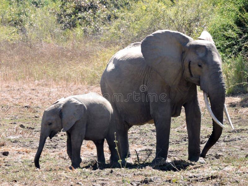 Mime al elefante con el becerro fotos de archivo