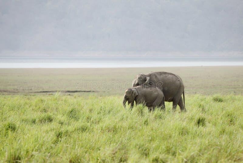 Mime al elefante y a un becerro en el prado de Dhikala imagen de archivo