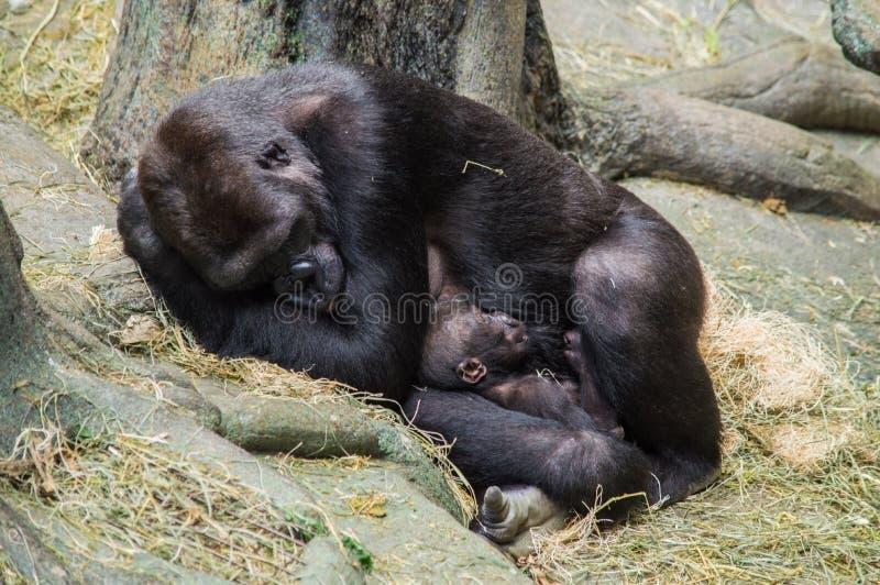 Mime al gorila y a su bebé que toman una siesta foto de archivo