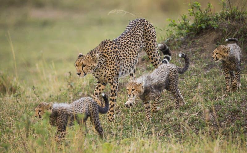 Mime al guepardo y a sus cachorros en la sabana kenia tanzania África Parque nacional serengeti Maasai Mara foto de archivo libre de regalías