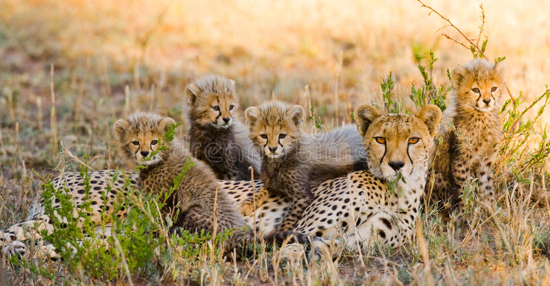 Mime al guepardo y a sus cachorros en la sabana kenia tanzania África Parque nacional serengeti Maasai Mara imagen de archivo libre de regalías