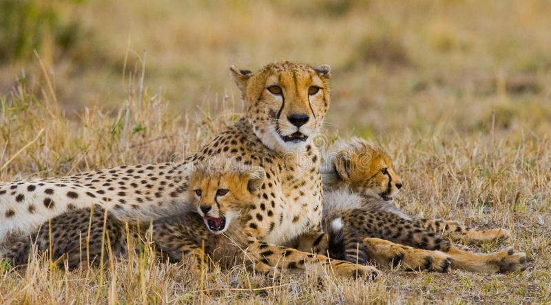 Mime al guepardo y a sus cachorros en la sabana kenia tanzania África Parque nacional serengeti Maasai Mara fotografía de archivo