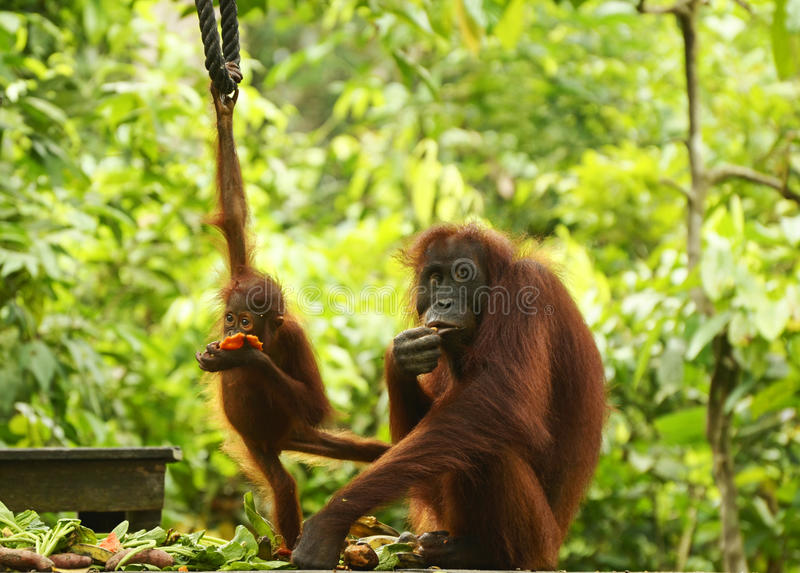 Mime al orangután y al bebé en la plataforma de alimentación Sepilok, Borneo imágenes de archivo libres de regalías