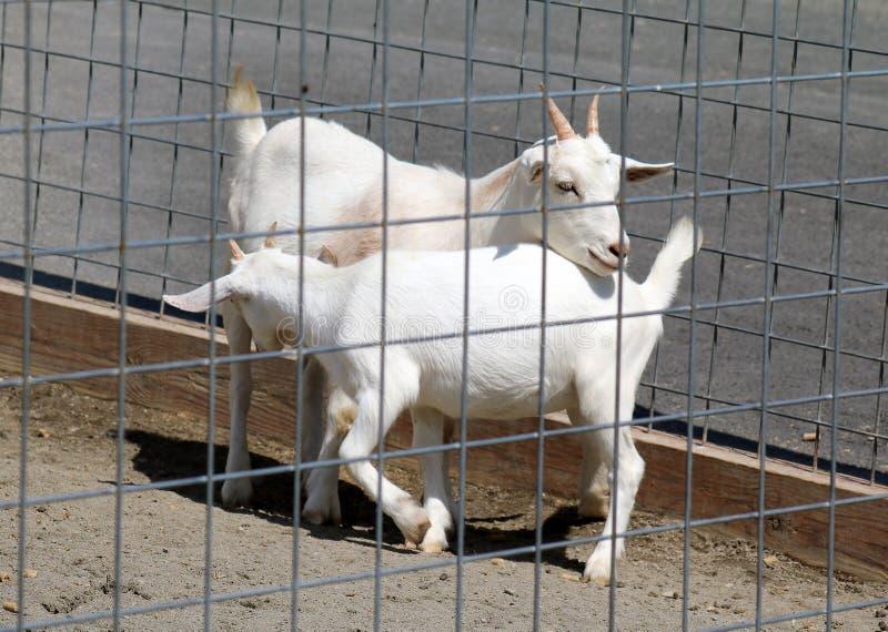 Mime a la cabra blanca que cuida su cabra blanca del bebé detrás de la puerta foto de archivo libre de regalías
