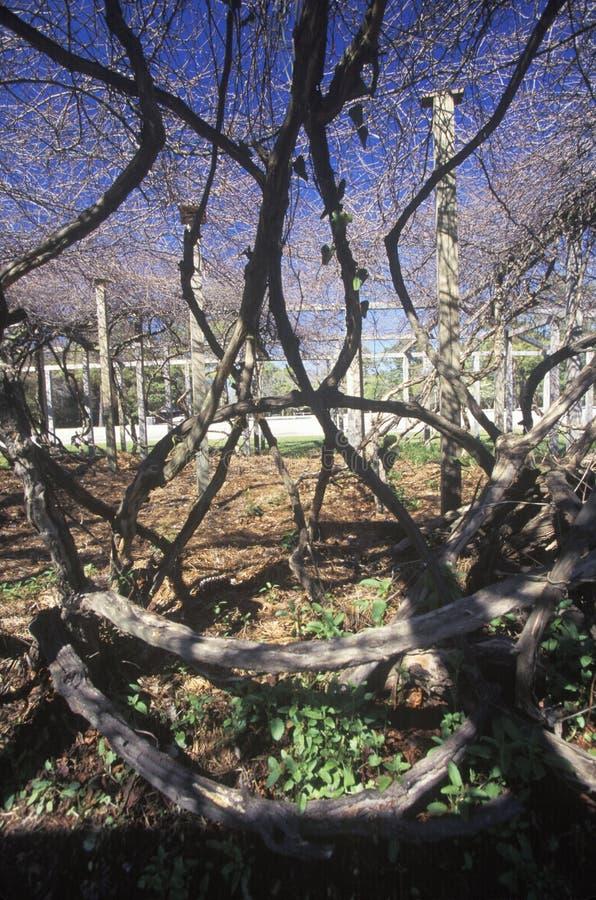 Mime a la vid, plantada por los primeros colonos ingleses en Roanoke, NC fotos de archivo