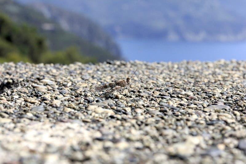 Mimetic gräshoppa royaltyfri fotografi