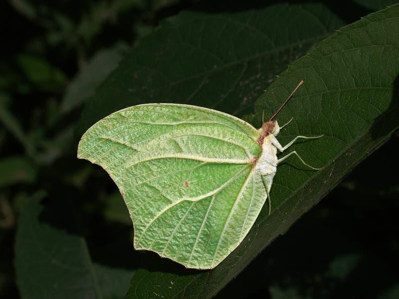 Mimetic motyl obrazy stock