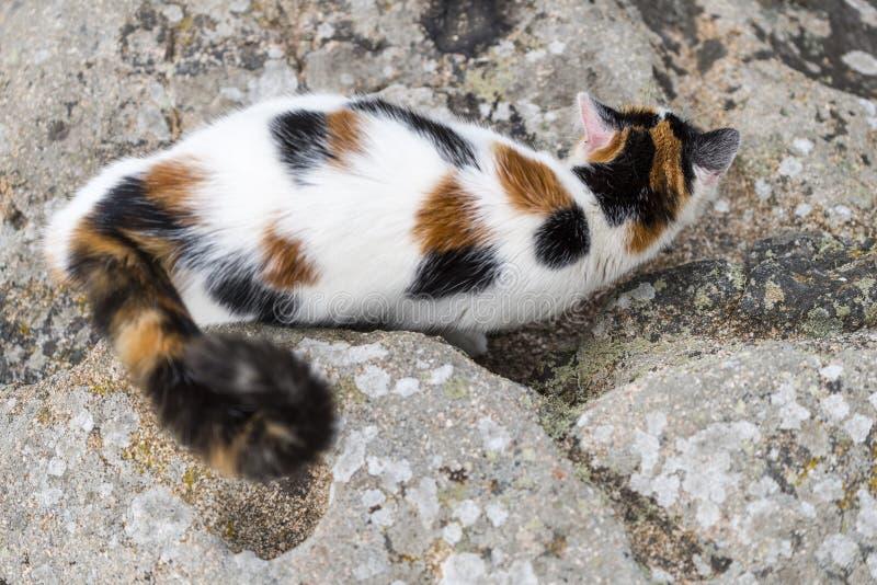 Mimetismo do gato em uma rocha fotos de stock royalty free