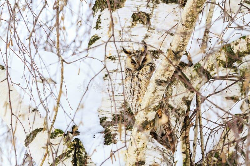 Mimetyzm sowa na tle brzoza zdjęcia stock