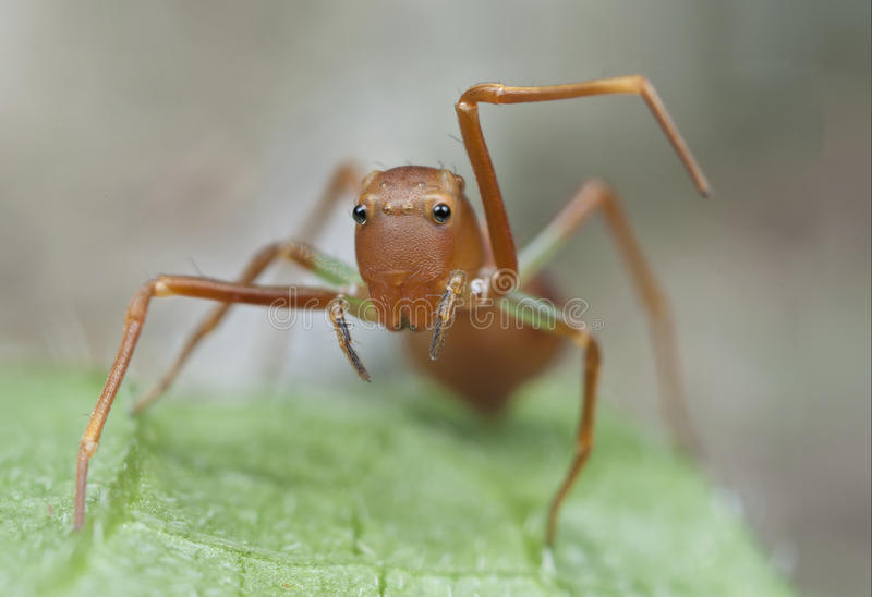 Mimic ant jumping spider. royalty free stock images