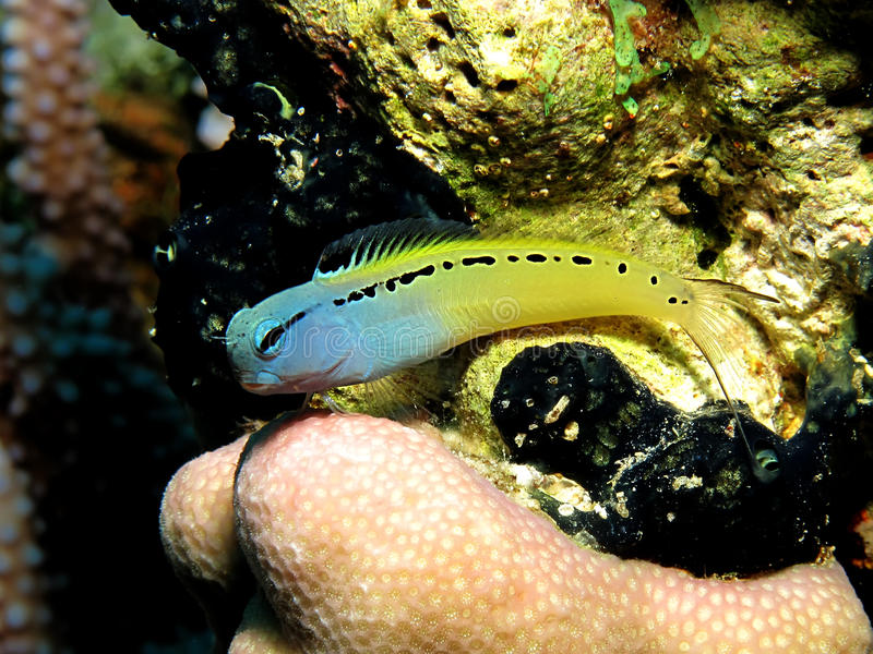 Download Mimic Blenny stock photo. Image of aquatic, goby, tropical - 11747592