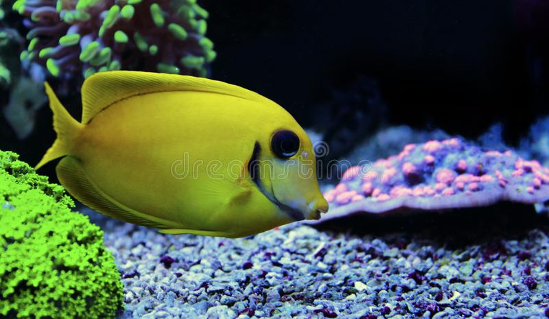 Mimic Lemon Peel Tang - Acanthurus pyroferus. Chocolate Surgeonfish, has an oval, yellow body while a juvenile. It has blue highlights around the eyes and gill stock photos