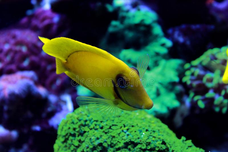 Mimic Lemon Peel Tang Acanthurus pyroferus. Chocolate Surgeonfish, has an oval, yellow body while a juvenile. It has blue highlights around the eyes and gill royalty free stock photos