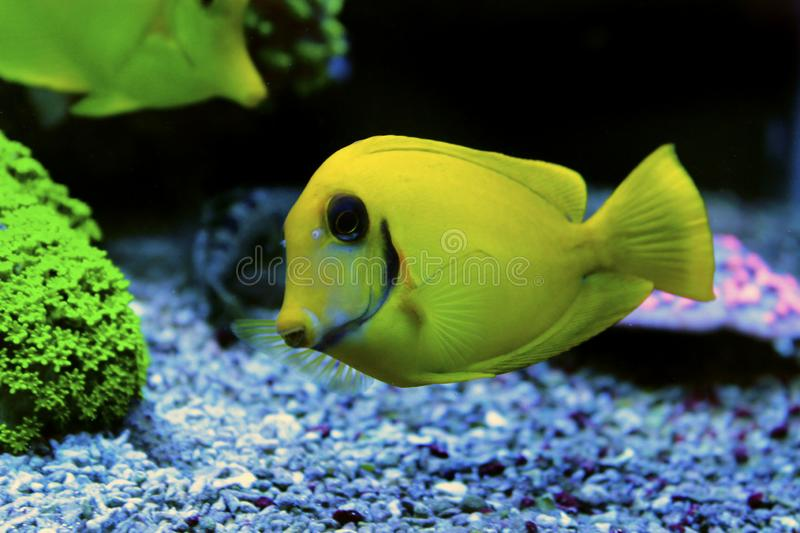 Mimic Lemon Peel Tang Acanthurus pyroferus. Chocolate Surgeonfish, has an oval, yellow body while a juvenile. It has blue highlights around the eyes and gill stock images