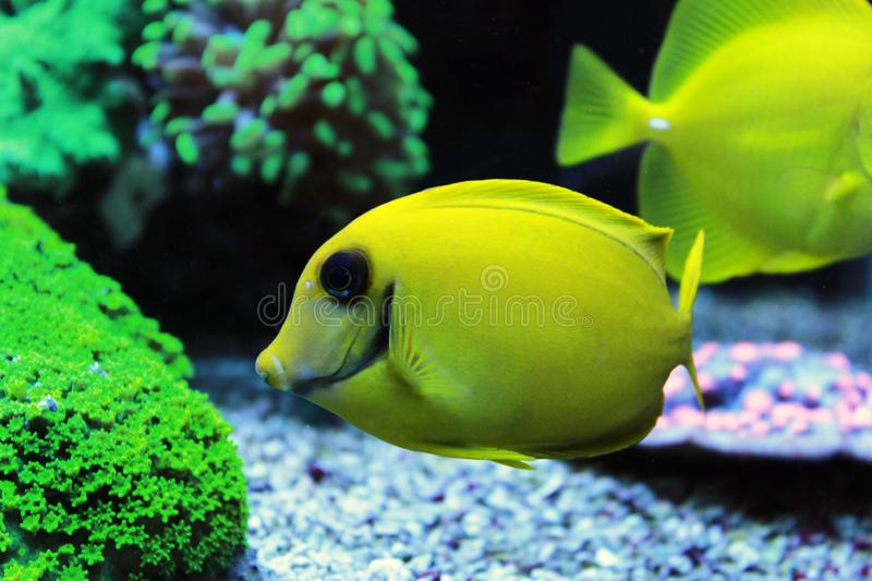 Mimic Lemon Peel Tang Acanthurus pyroferus. Chocolate Surgeonfish, has an oval, yellow body while a juvenile. It has blue highlights around the eyes and gill stock photo