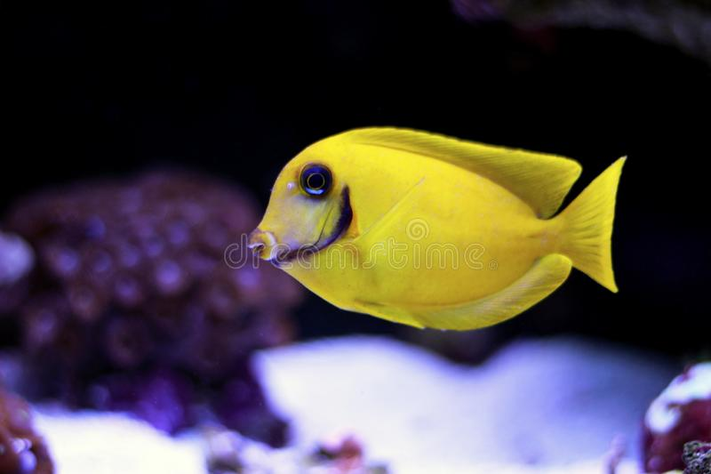 Mimic Lemon Peel Tang Acanthurus pyroferus. Chocolate Surgeonfish, has an oval, yellow body while a juvenile. It has blue highlights around the eyes and gill royalty free stock images