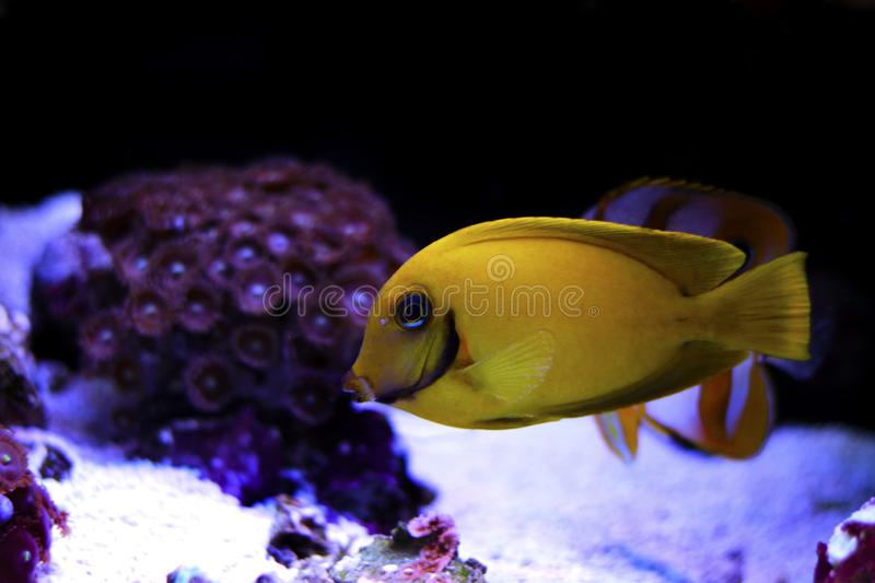 Mimic Lemon Peel Tang Acanthurus pyroferus. Chocolate Surgeonfish, has an oval, yellow body while a juvenile. It has blue highlights around the eyes and gill royalty free stock photography