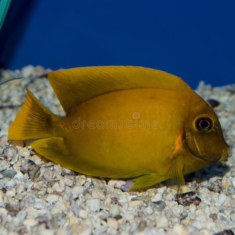ChocolateTang. The Mimic Lemon Peel Tang, also known as the Mimic Surgeon, or Chocolate Surgeonfish, has an oval, yellow body while a juvenile. It has blue royalty free stock photo