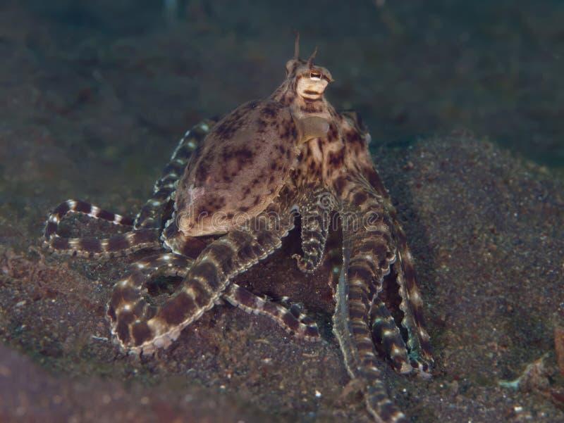 Mimic octopus stock photography