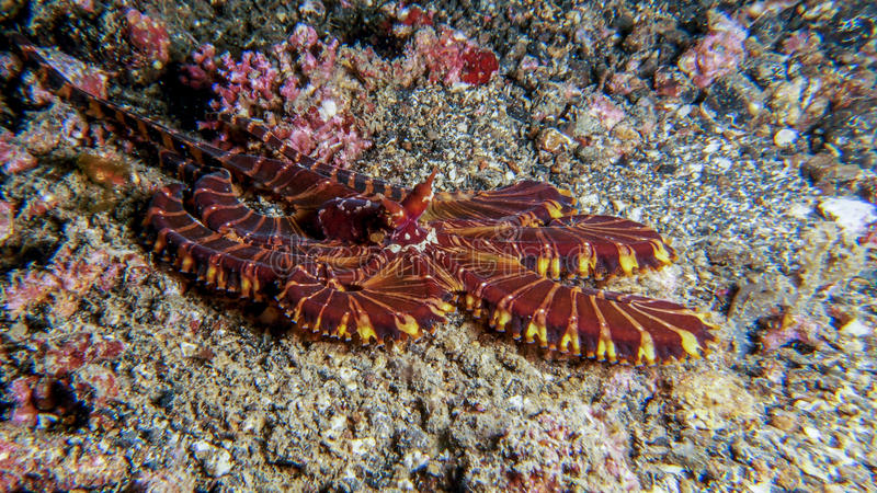 Mimic Octopus stock images