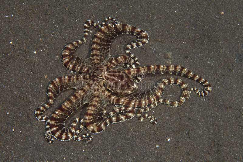 Mimic octopus stock image