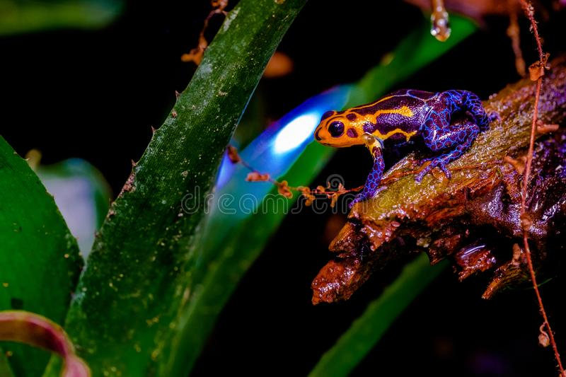 Poison arrow frog royalty free stock images