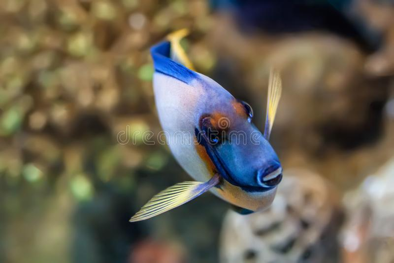 Profile view of mimic tang. Mimic tang fish swimming to front of the aquarium with yellow coloured coral in view stock photography