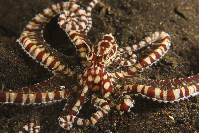 Mimische octopus op de bodem van het mestzand royalty-vrije stock afbeelding