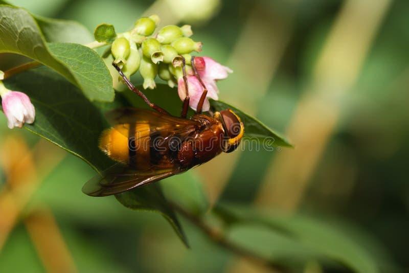 Mimo del calabrone hoverfly fotografia stock