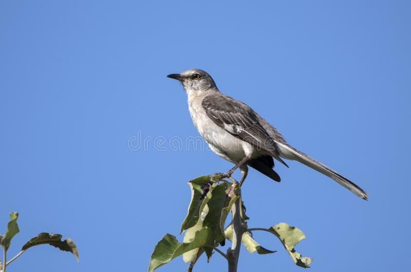 Mimo nordico appollaiato sulla cima dell'albero contro cielo blu fotografie stock