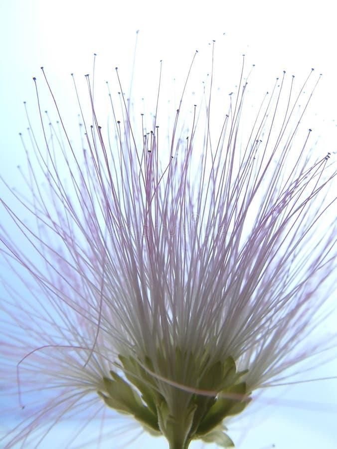 Mimosa άνθισης