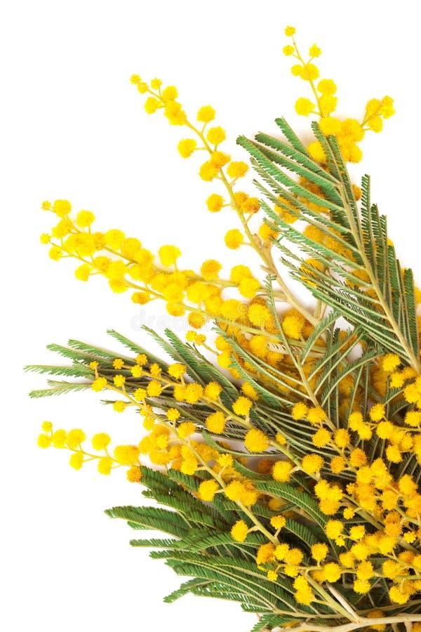 mimosa ветви стоковое изображение rf