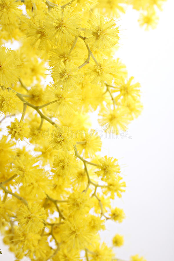 mimosa ветви стоковое фото