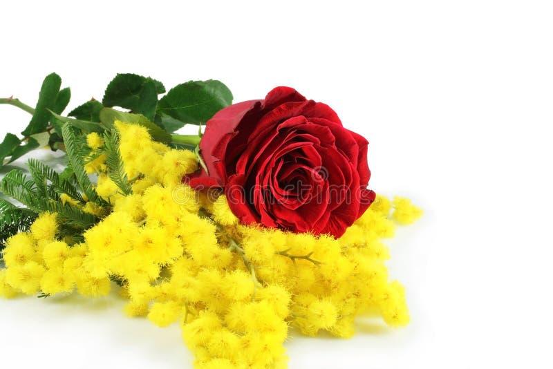 mimosa поднял стоковые изображения